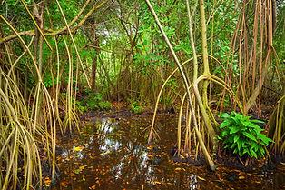 mangroveroots.jpg