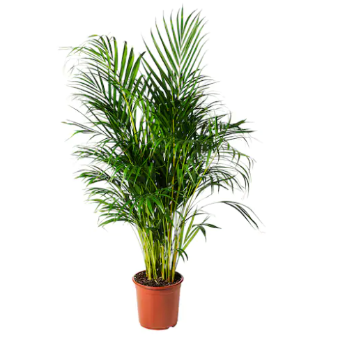 dypsis lutescens Ikea 19,99.png