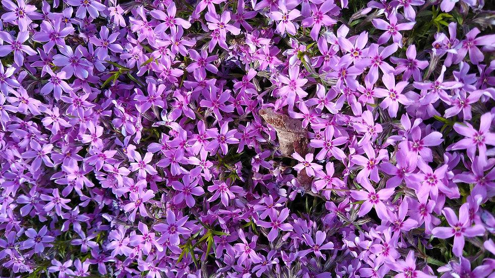 very beautyful small Violet flowers.jpg