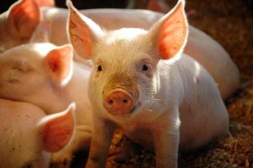 Feeder/4-H pigs