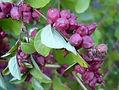 Symphoricarpos_orbiculatus_HRM2 free use