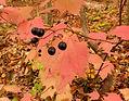 Viburnum_acerifolium_(22312364534) free