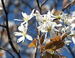 amelanchier-1355330_1920 free usage.jpg