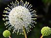 Cephalanthus_occidentalis-Buttonbush.jpg