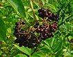 Sambucus_canadensis_berries free use.JPG