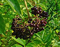 Sambucus_canadensis_berries free use.JPG