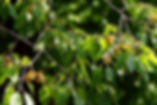 Persimmon stock photo purchased.jpg