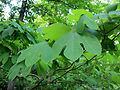 Sassafras leaves free use.jpg