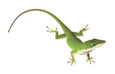 anolis green.png