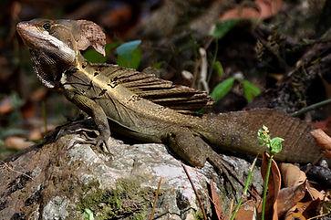 Basiliscus_vittatus_lizard_on_a_rock,_Co