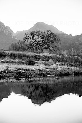 Black and White Reflecting Oak Tree