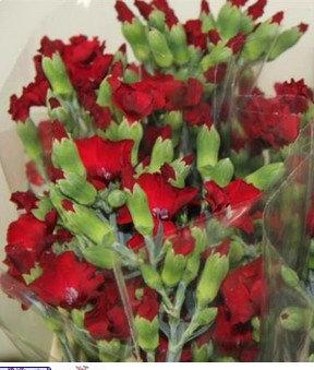 Spray of carnations