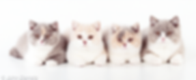 British Shorthair Kittens Hampshire