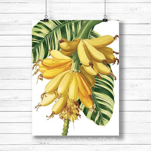 vintage banana illustration, bunch of bananas vintage print retro botanical art