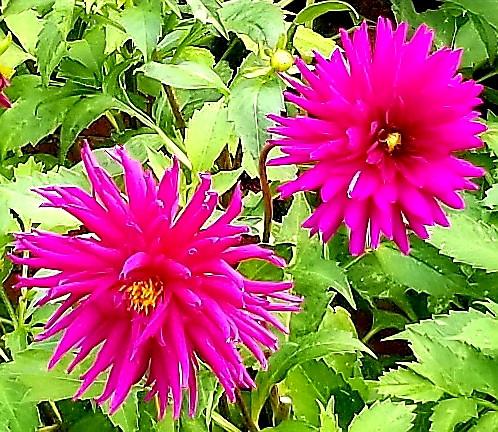 HCP pink flower