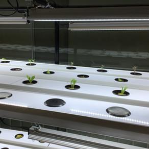 Nouveau potager intérieur en hydroponie