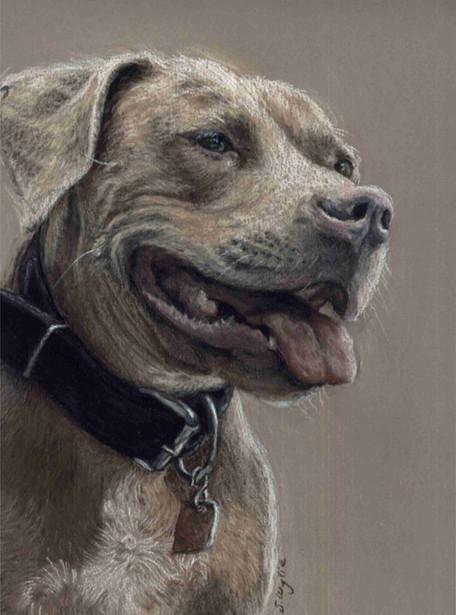 Custom pit bull portrait.