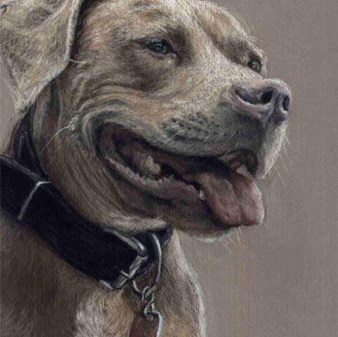 Custom pit bull dog painting portrait
