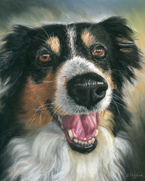 Custom border collie dog portrait.