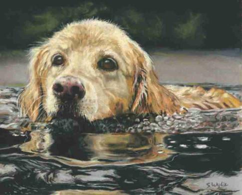 Golden Retriever Dog Swimming custom pet portrait