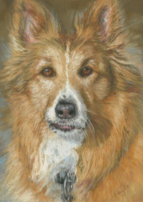 Custom collie dog portrait.