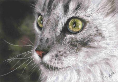 Custom maine coon cat portrait.
