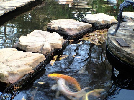 Tales from the Koi Pond