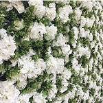 Worcestershire Flower Walls - Penelope F