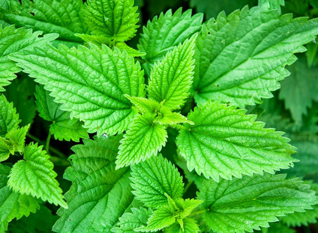 SPRING CLEANING FOR THE BODY WITH COMMON WILD HERBS