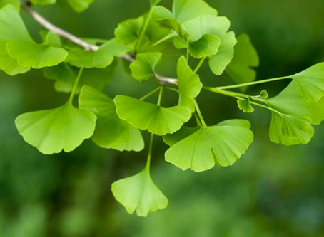 MAIDENHAIR TREE (Ginkgo biloba)