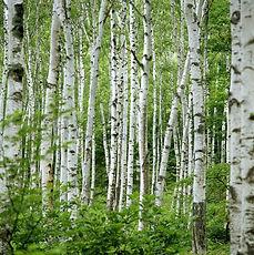 Wallpaper-Birch-Trees.jpg