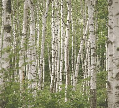 Wallpaper-Birch-Trees_edited.jpg