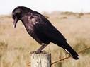 It's a crow...
