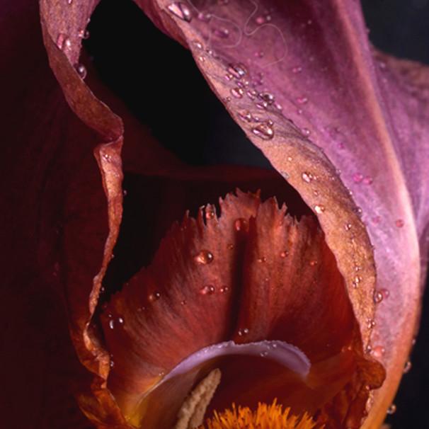 Throat of the Iris