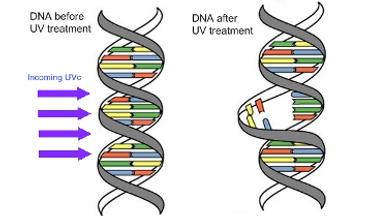 Kill DNA strands.png