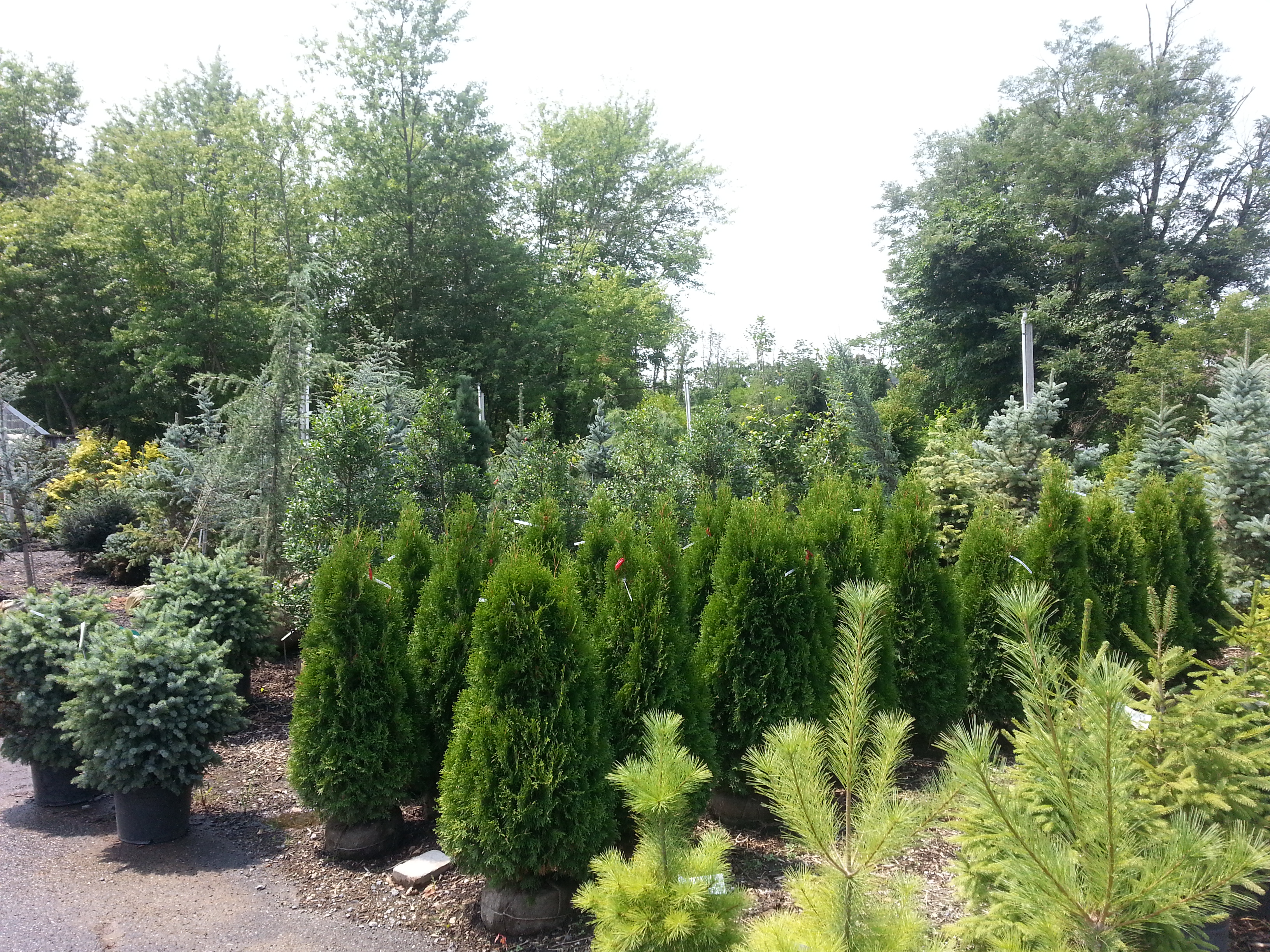 Conifer Bed