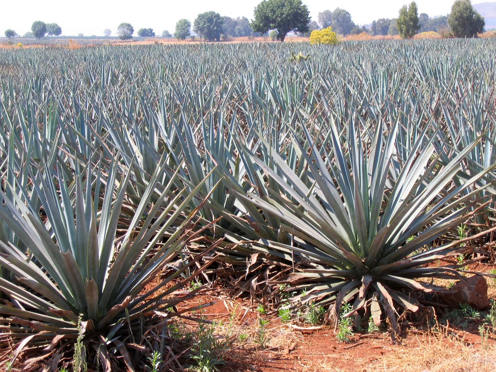 Agave in Mexico