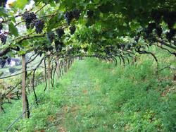 Italy vines