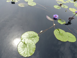 Lilies - 3