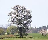 Pæretræet, 8 Maj 2019.jpg