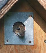 Husmus i Blåmejsekasse i haven -kopi.jpg