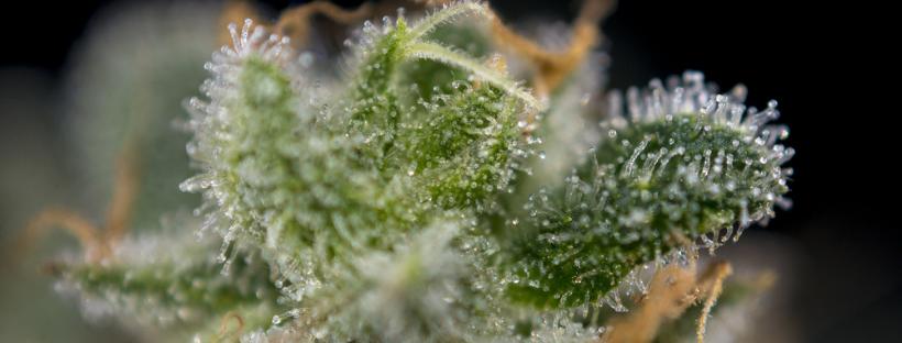 What Do Terpenes Look Like