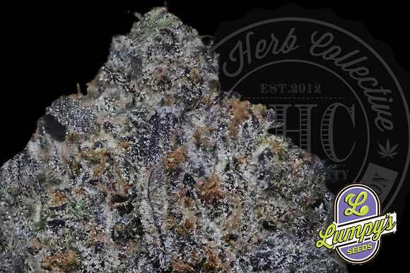 SUPER BERRY FRITTER | EXCLUSIVE  | LUMPY SEED GENETICS