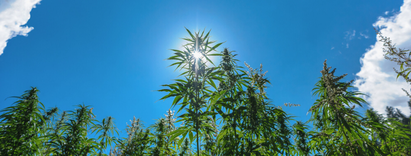 Best Strains to Grow Outside