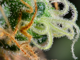 What Are Trichomes and Their Role Within Cannabis Plants?