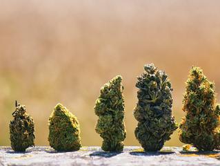 Most Popular Marijuana Strains in California