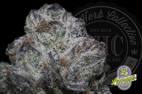 APPLE FRITTER | EXCLUSIVE | LUMPY SEEDS GENETICS