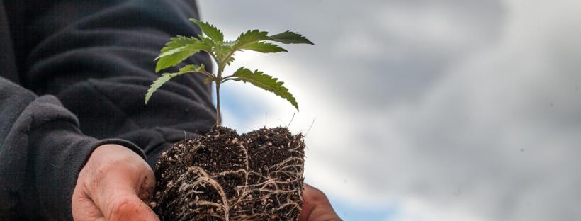 Legal Guide to Growing Marijuana Outdoors in California