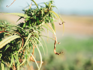 Beginner's Guide to Cannabis Plants and Strains