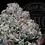 Thumbnail: STRAWBERRY LIGHTS 26.8 % | TOP SHELF | ROSEZ CO.